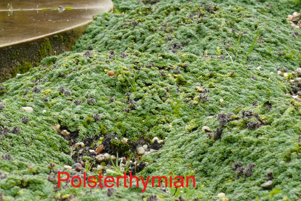 polsterthymian-2